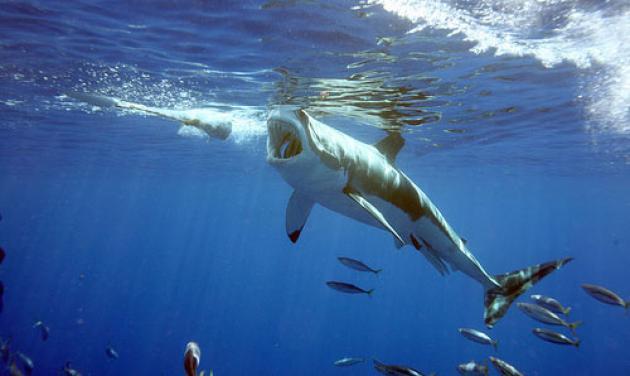 Στα ελληνικά νερά κολυμπούν 35 είδη… καρχαρία!