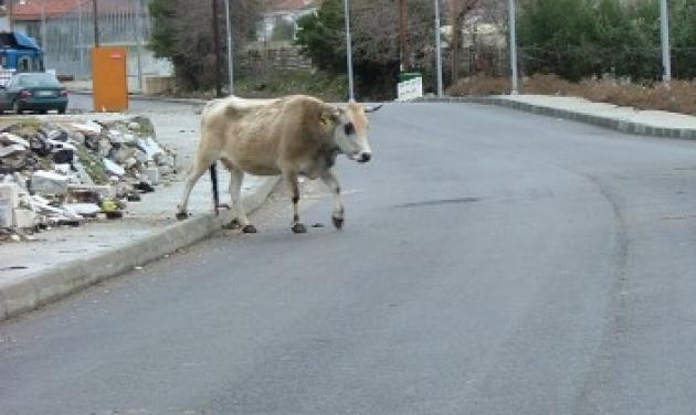 Γιάννενα: Έστησαν ολόκληρη επιχείρηση για να απομακρύνουν αγελάδα από το οδόστρωμα | tlife.gr