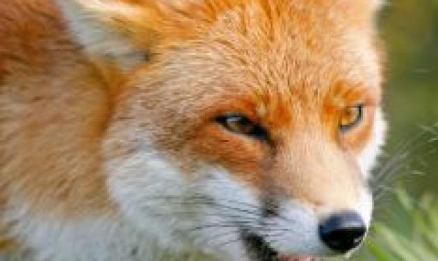 Σοκ! Αλεπού επιτέθηκε σε δίδυμα μωρά!   tlife.gr