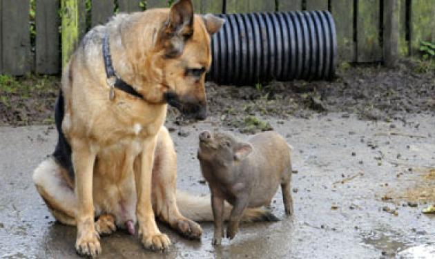 Το γουρούνι που νομίζει ότι είναι σκύλος! | tlife.gr