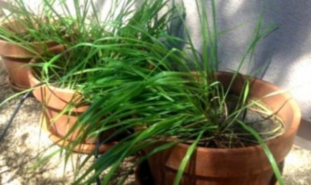 Αυτό είναι το φυτό που απωθεί τα κουνούπια όσο κανένα άλλο λένε οι επιστήμονες   tlife.gr