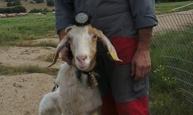 Κυκλοφόρησαν τα πρώτα πρόβατα με… προβολείς! | tlife.gr