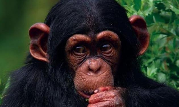 Xιμπατζήδες »κήδεψαν» την φίλη τους! | tlife.gr