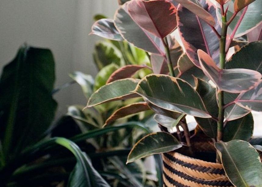 Πέντε πιο-ροζ-δεν-γίνεται φυτά εσωτερικού χώρου που θα σε ενθουσιάσουν!