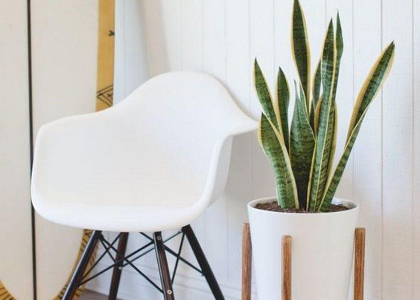 """Η """"γλώσσα του διαβόλου"""": Πώς να φροντίσεις το πιο εντυπωσιακό φυτό εσωτερικού χώρου   tlife.gr"""