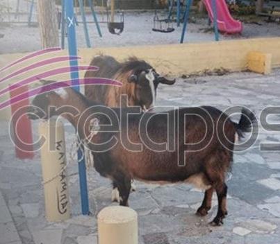«Συνέλαβαν» κατσίκα και τράγο στην Κρήτη | tlife.gr