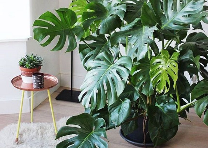 Μονστέρα: Πώς να φροντίσεις το αγαπημένο σου τροπικό φυτό και τι να αποφύγεις | tlife.gr