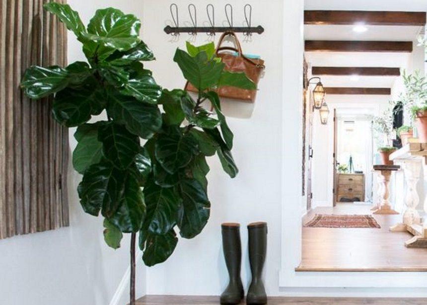 Φίκος Lyrata: Όσα πρέπει να ξέρεις για την φροντίδα του πιο διάσημου φυτού στο Instagram | tlife.gr