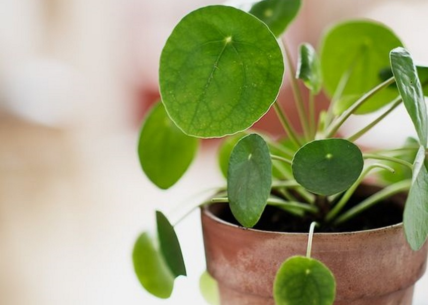 Pilea peperomioides: Όσα θέλεις να μάθεις για το πιο εντυπωσιακό φυτό εσωτερικού χώρου   tlife.gr