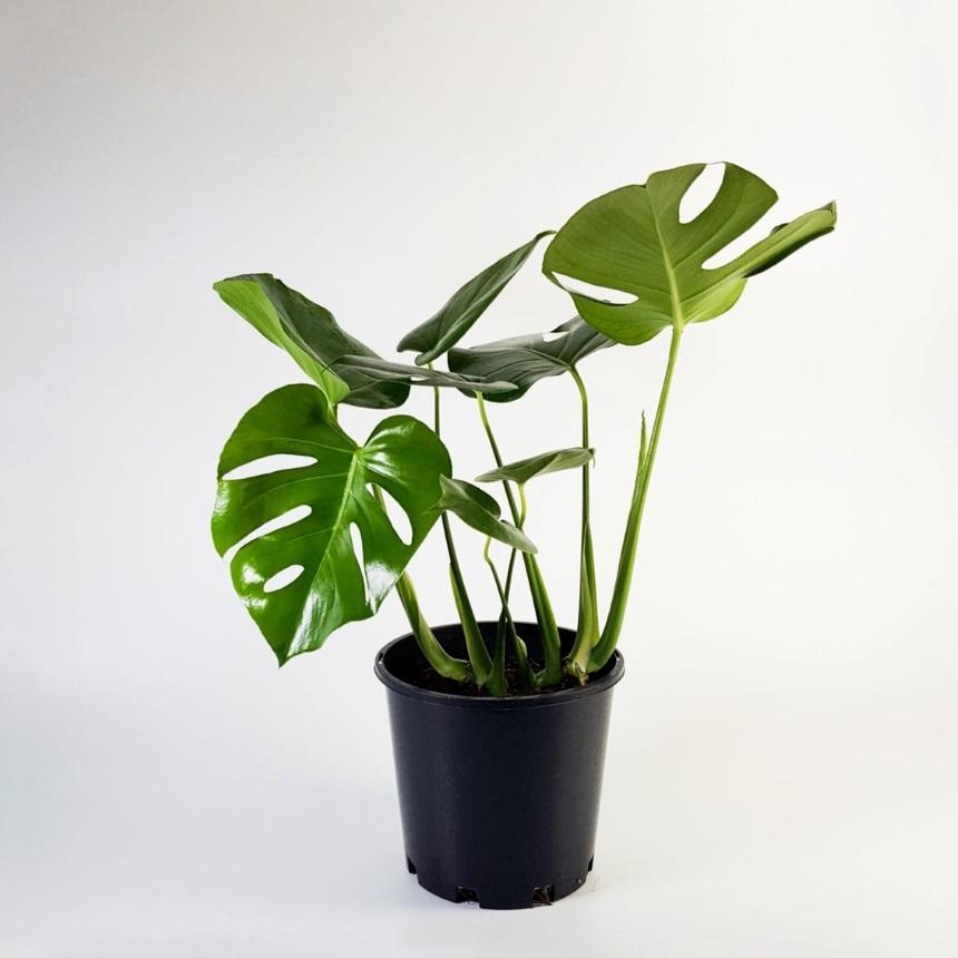 Φυτό Paraphernalia | tlife.gr