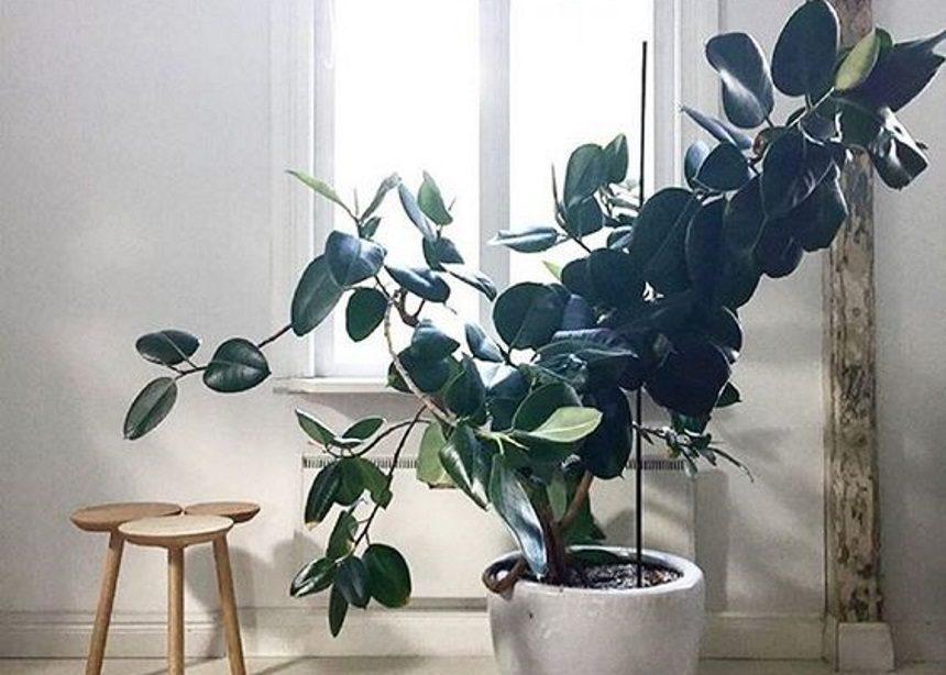 Ficus Elastica: Όσα θέλεις να μάθεις για την φροντίδα του minimal φίκου σου   tlife.gr