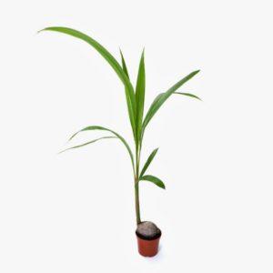 Φυτό Paraphernalia