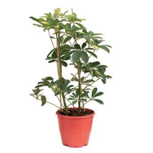 Φυτό Praktiker