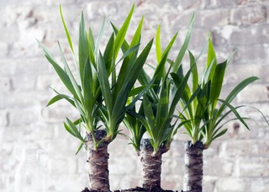 Το γιούκα είναι το φυτό που θα σε εντυπωσιάσει με την ομορφιά και τις χαμηλές απαιτήσεις του!
