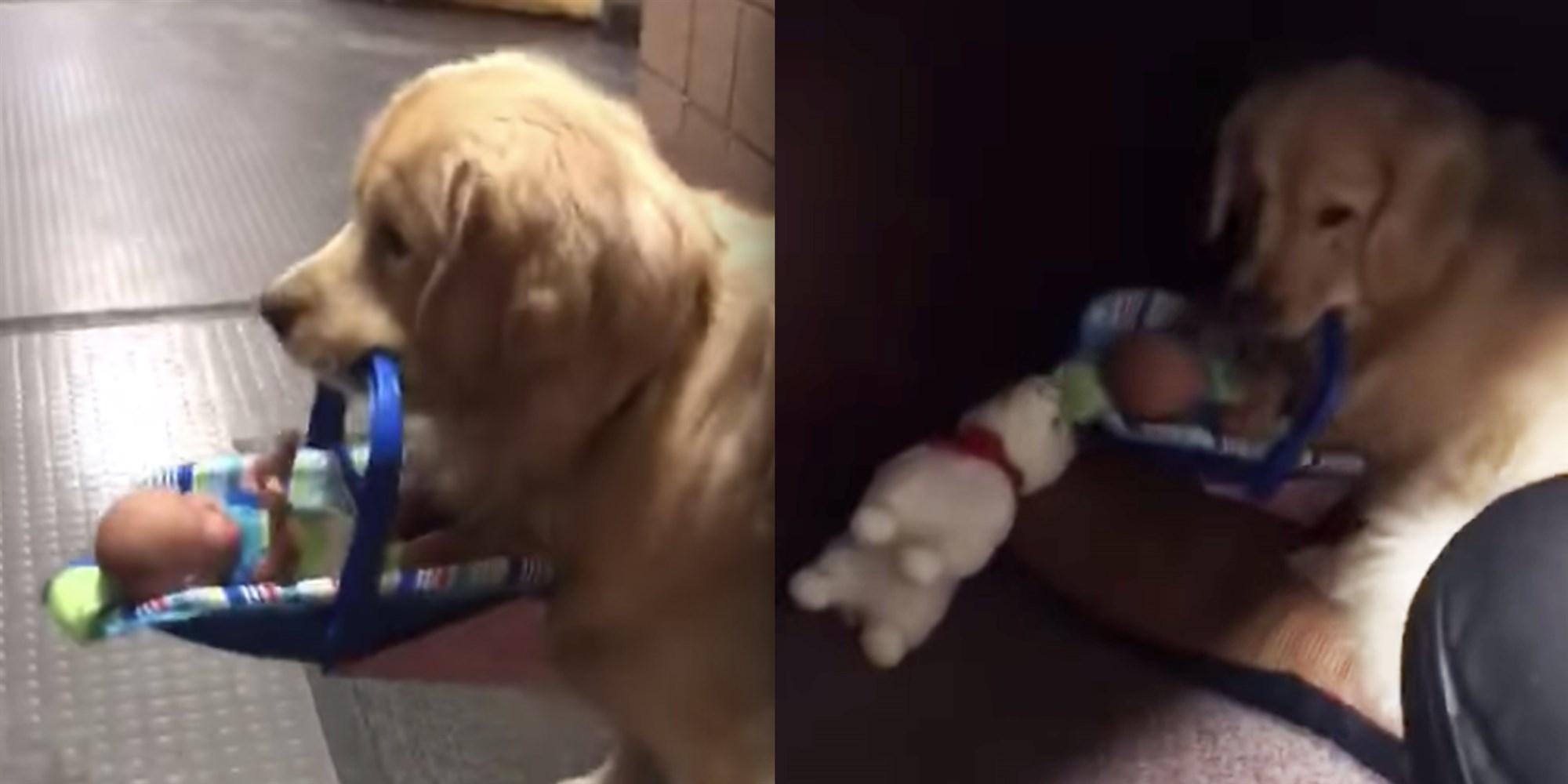 Αστυνομικός σκύλος κλέβει παιχνίδια και τα πάει στην κρυψώνα του! Απολαυστικό βίντεο