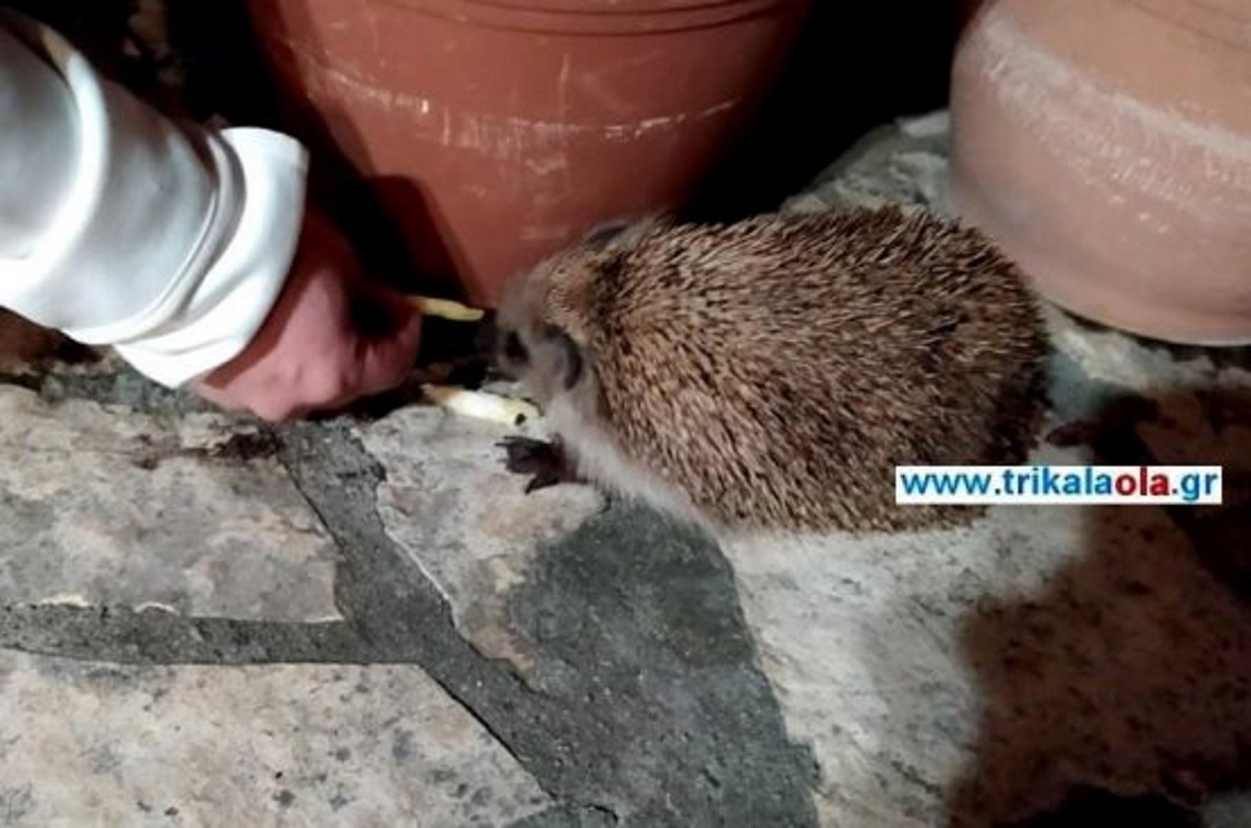 Αυτός ο σκαντζόχοιρος…  έχει τρελάνει μια οικογένεια στα Τρίκαλα! Video